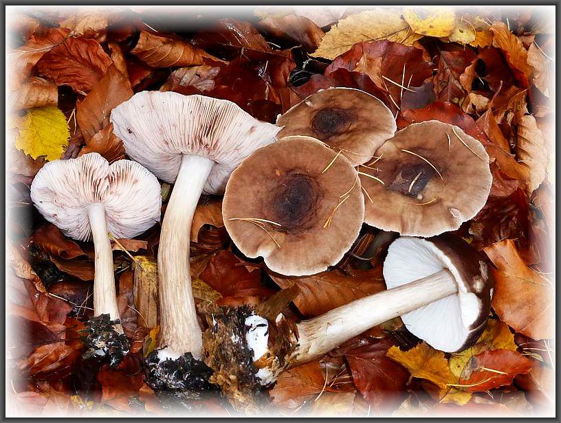 Im Buchenlaub, scheinbar aus dem Boden hervorwachsend eine Gruppe Rehbrauner Dachpilze (Pluteus atricapillus). Tatsächlich benötigen sie aber eine Holzunterlage. Die zunächst weiße Lamellen verfärben sich im Reifeprozeß der Sporen rosa bis fleischrötlich. Essbar und am Standort fotografiert.