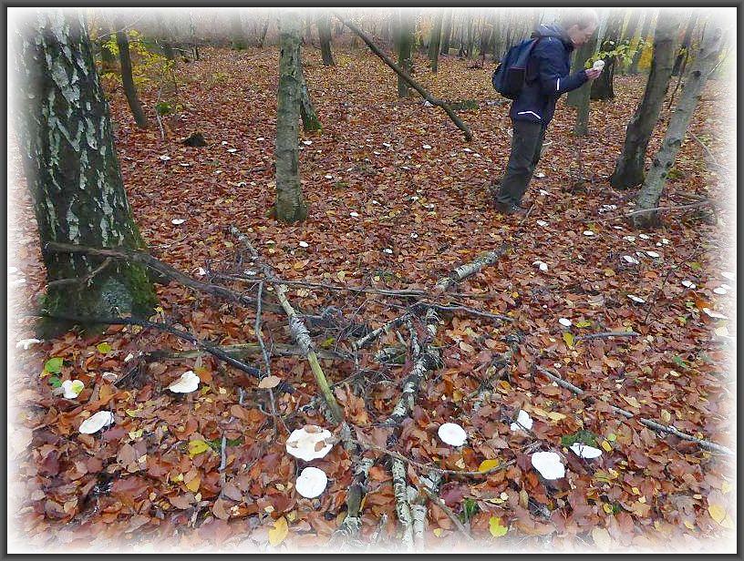 Strohblasse Ritterlinge (Tricholoma stiparophyllum) fast als Bodendecker unter einer Birkengruppe. Die Pilze leben in Symbiose mit Birken, sind aber für den Kochtopf aufgrund ihres unangenehmen Geruchs und Geschmacks nicht geegnet und blieben daher stehen.