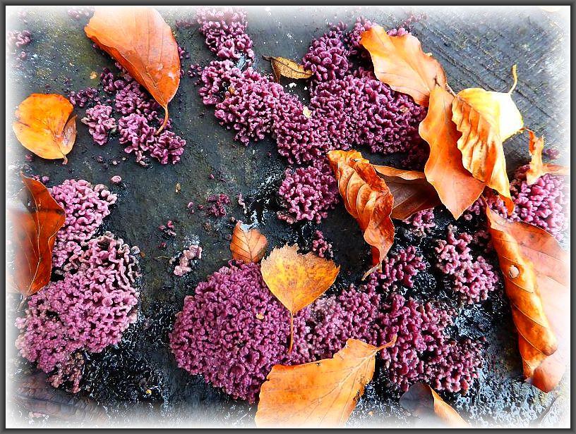 Einen wunderschönen, farblichen Kontrast bilden bilden hier die Fruchtkörperrasen des Fleischroten Gallertbechers (Ascoryne specc.) und die Buchenblätter auf dem Buchenstubben. Diese recht häufigen Schlauchpilze müssen in der Regel mikroskopiert werden, um die Artzugehörigkeit eindeutig festzustellen. Es gibt den Fleischroten Gallertbecher und den Großsporigen Gallertbecher. Ohne Speisewert.