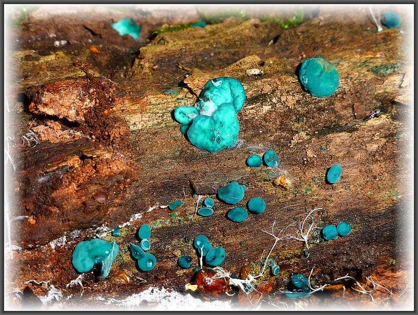 Auch bei dieser scheinbar eindeutigen Art, sollte lieber das Mikroskop gefragt werden. Er gehört zur Gattung Chlorosplemuim = Grünspanbecherling. Hier gibt es ebenfalls zwei Arten, bei denen die Sporengröße unterschiedlich ist.