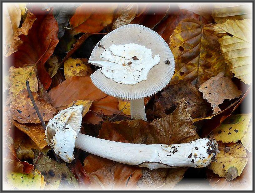 Der Graue Scheidenstreifling (Amanita vaginata) ist im Verhältnis zum Fuchsigen Scheidenstreifling erheblich seltener zu finden. Auch er darf in den Speisepilzkorb wandern. Auf den Hüten sind noch große Hautfetzen der ehemaligen, den gesamten jungen Fruchtkörper umschließenden Volva zu sehen. Standortfoto.