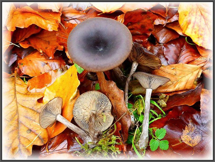 Die ersten Pilze entdeckten Irena und Jonas schon beim Aussteigen aus dem Auto. Essbare Kaffeebraune Scheintrichterlinge (Pseudoclitocybe cyathiformis).