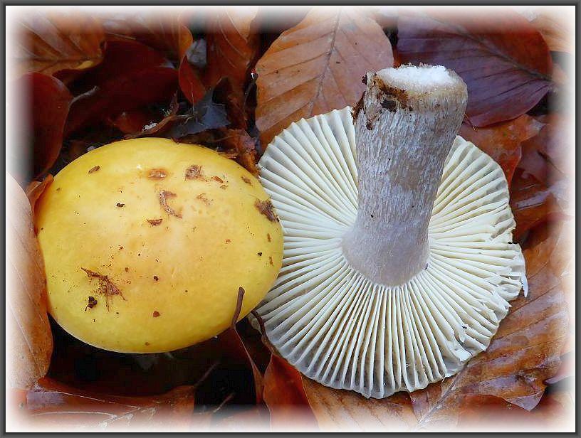 Der Stiel des Zitronen, Gelbweißen- oder Ockertäublings kann sich mit zunehmenden Alter grau verfärben, ohe das er der Gruppe derr Graustieltäublinge angehört. Essbar, manchmal aber etwas schärflich..