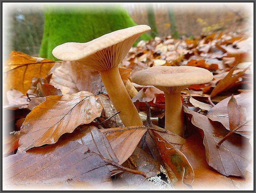 Der Süßliche Milchling (Lactarius subdulcis) ist alljährlich besonders im Herbst ein Massenpilz in unseren Buchenwäldern. Er schmeckt mild und darf daher als Mischpilz in den Sammelkorb wandern. Standortfoto.