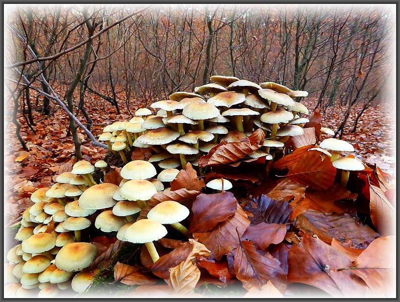 Unzählige, giftige Grünblättrige Schwefelköpfe überzienhe große Teile des von Blättern weitgehend zugedeckten Buchenstumpfes. Standortfoto.