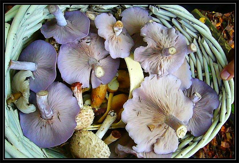 Der Violette Rötel - Ritterling ist hingegen wesentlich ergiebiger und gehört ebenfalls zu unseren guten Speisepilzen.