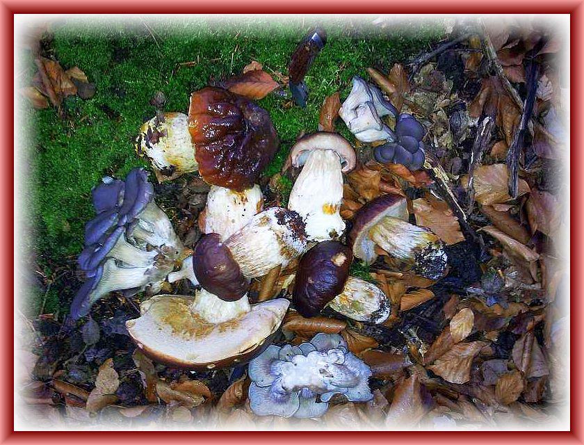 Und hier noch ein aktuelles Foto aus dem Wald bei Graal - Müritz. Es stammt von Andreas Okrent. Austernseitlinge (Pleurotus ostreatus) und junge Weihnachtssteinpilze (Boletus edulis) in trauter Eintracht. Gefunden und fotografiert am 17. Dezember 2014.