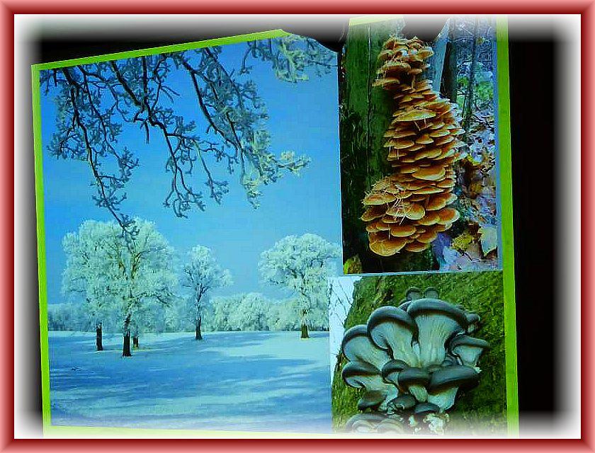 Die Pilze der Wintermonate: Samtfuß - Winterrübling und Austernseitling sind auch bei Frost und Schnee zu finden.