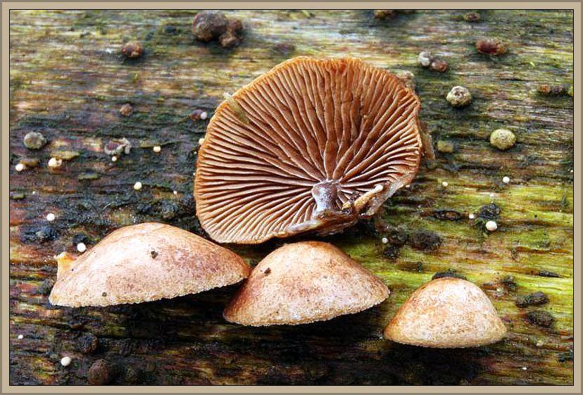 Laubholz - Muschelfüßchen (Melanotus horizontalis). Kugelige, später muschelförmig, seitlich, kurzgestielte, ockerbräunliche bis rotbräunliche Hüttchen an Laubholzstubben und Stämmen. Auch an ungewöhnlichen Substraten wie alten Seilen oder Fußmatten gefunden. Die bis 1,5 cm breiten Hütchen sind von zäher Konsistenz und die Huthaut ist nicht abziehbar. Das Foto stammt von Wilhelm Schulz aus Duisburg. Ohne Speisewert.ilzchen
