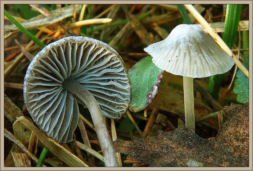 Grauer Nitrathelmling (Mycena alcalina). Die Hüte werden 2 - 3 cm breit und sind braungrau, teils mit olivton. Die Lamellen sind grau und der Stiel ist ähnlich gefärbt. Markant ist sein aufdringlicher, alkalischer Geruch. Ungenießbar. Die Pilze hat Wilhelm Schulz am 22.11.2012 im Ravenvennen bei Arcen in den Niederlanden fotografiert.n