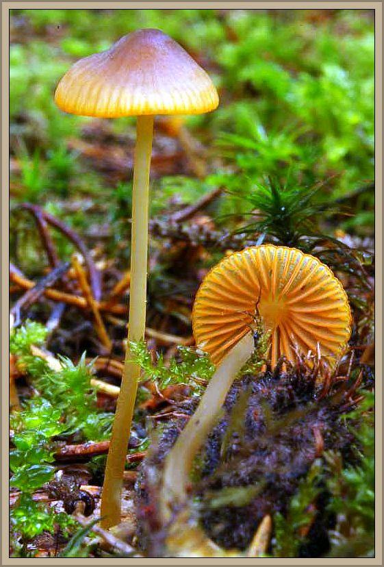 Orangeschneidiger Helmling (Mycena aurantiomarginata) - Dieser schöne Helmling ist in den Nadelwäldern Süddeutschlands und im Alpenraum recht verbreitet. Ansonsten ist er nur selten vorzufinden. Der Hutdurchmesser erreicht 3 - 4 cm. Der olivbräunliche Hut ist zum Rand hin meist lebhaft orange getönt, ebenso wie seine Lamellenschneiden. Der Stiel ist gelbgrau und der Pilz besitzt keinen auffallenden Geruch. Ohne Speisewert. Die Pilze hat Wilhelm Schulz am 12.10.2013 bei Flattachberg in Österreich fotografiert