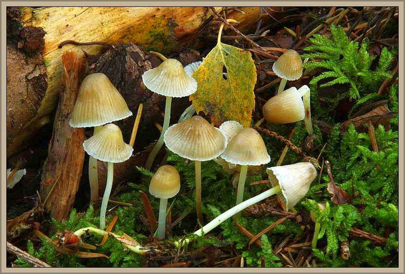 Dehnbarer Helmling (Mycena epipterygia). Dieser Helmling ist weit verbreitet und im späteren Herbst in feuchten Nadelwäldern oft ein Massenpilz. Der kleine, bis 1 cm breite, glockige Hut ist meist blass zitronengelb gefärbt. Deutlicher ist die Gelbfärbung auf dem Stiel, der von einem dicken Schleim überzogen ist, so dass man die Einzelfruchtkörper kaum zwischen den Fingern halten kann. Chatakteristisch ist zu dem seine elastische, dehnbare Huthaut, die namensgebend ist. Diese Gruppe hat Wilhelm Schulz am 31.10.2012 bei Moyland im Reichswald in Nordrhein - Westfahlen fotografiert. Ohne Speisewert.