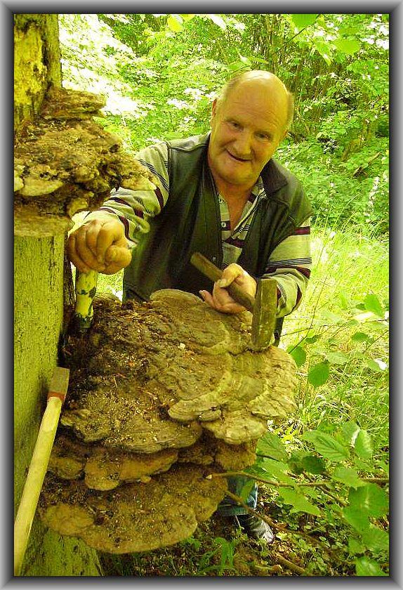 Schweres Werkzeug, dass Gerhard zum Glück im Auto hatte, war erforderlich, um diese großen Flachen Lackporlinge für unsere unsere Pilzausstellung