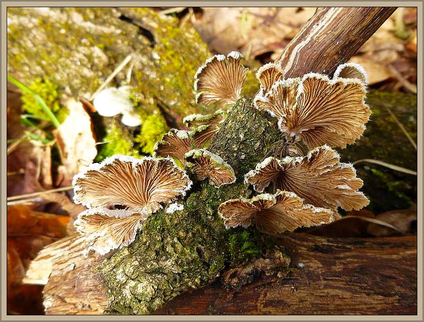 Spaltblättling (Schizophyllum comune). Foto: Reinhold Krakow
