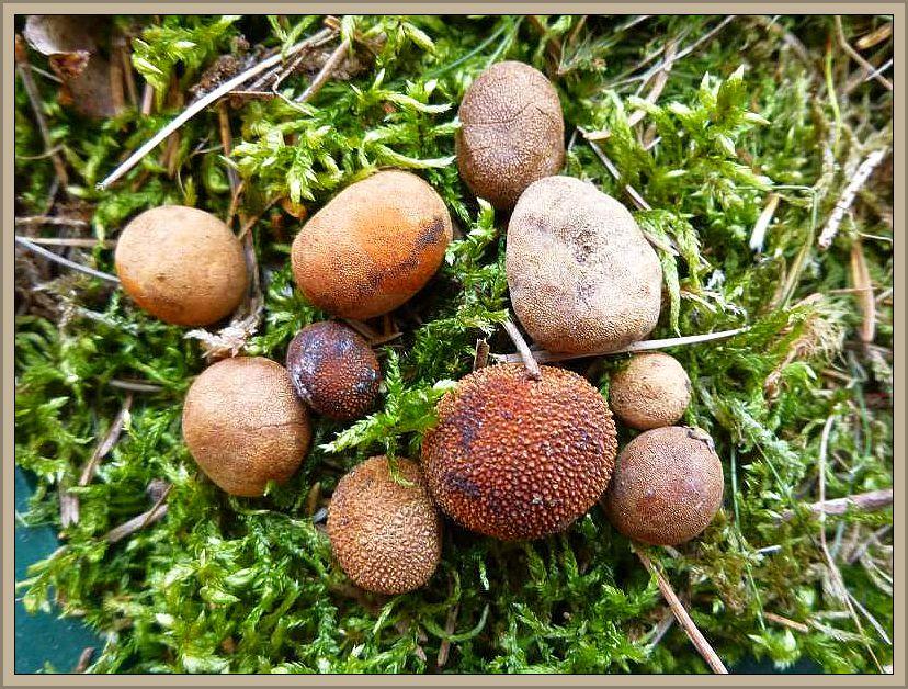 Braunwarzige Hirschtrüffel (Elaphomyces granulatus). Dieser sehr häufige, unterirdisch fruktfizierende Art gehört nicht zu den echten Trüffeln. Sie gedeiht das ganze Jahr indurch in Kiefern- und Fichtenwäldern. Sie werden wallnuß- bis Hühnereigroß und sind hellbräunlich gefärbt mit zahlreichen, kleinen Warzen auf der Oberfläche. Die Pilze werden gern vom Wild gefrässen und es lohnt sich, will man die Pilze einmal in natura kennen lernen, an den von Wildschweinen aufgewühlten Stellen zu schauen. Nicht selten hat man Glück, denn die Tiere finden nicht alle Pilze. Die Hirschtrüffeln sollen hohe Mengen an 137 Cäsium speichern, was widerum die Tiere, insbesondere die Wildschweine aufnehmen und im Körper anreichern. Daher ist Wildschweinfleisch in einige Gebieten relativ hoch belastet. Die Hirschtrüffeln sind zwar für Wildtiere ein Leckerbissen, für den Menschen aber wertlos, da ungenießbar. Standortversetztes Foto vom 20.04.2013 bei Flessenow.