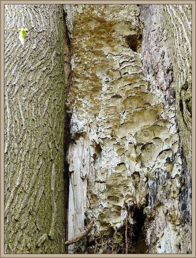 Treppenförmiger Steifporling (Oxyporus populinus). Gelblich graue, korkig zähe Fruchtkörperkonsolen, die dachziegelartig übereinander verwachsen an oft noch lebenden Laubbäumen anzutreffen sind. Oft auch, so wie hier an einer alten Buche, an Stammspalten oder sogar im Inneren hohler Stämme. Die Art ist langlebig und kann etliche Jahre am befallenen Stamm weiter wachsen. Wir finden den Pilz bevorzugt in trockenwarmen Gebieten. In Mecklenburg ist er zerstreut bis relativ selten. Er wurde laut Kreisel an Ahorn, Roßkastanie, Birke, Esche, Kirsche, Pappel, Eiche, Holunder, Ulme, Buche u.a. nachgewiesen. Standortfoto am 27.04.2013 im Hellbachtal bei Neubukow/Buschmühlen. Ungenießbar.