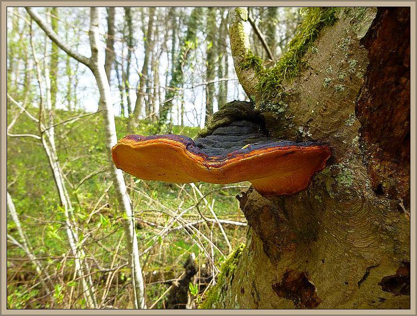 Rotrandiger Baumschwamm (Fomitopsis pinicola). Standortfoto am 27. April 2013 im Hellbachtal bei Neubukow/Buschmühlen. R. Krakow