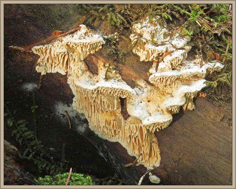 Vielgestaltige Braunfäule - Tramete (Antrodia heteromorpha). Diese Tramete soll im noddeutschen Flachland so gut wie garnicht vorkommen. Es ist eine Art mit montaner Verbreitung. Der Pilz besiedelt Fichtenstubben, selten auch an anderen Nadelhözern wie die Waldkiefer. Wie der Name schon sagt, erzeugt der Pilz im Holz eine Braunfäule. Dieses Foto hat Wilhelm Schulz am 18.07.2014 bei Königshütte aufgenommen. Ungenießbar.