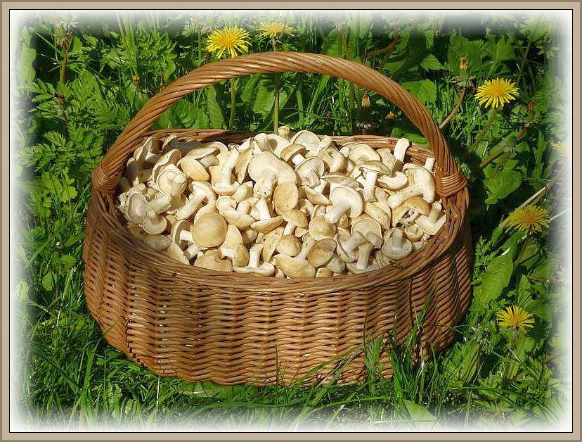 Das hat gelohnt! Schäzugsweise 8 bis 10 Kilo hochwertiger, junger, erstklassiger Maipilze. Sie wurden blanchiert und eingefroren für unsere traditionellen Maipilz - Wochenenden und dann zu einer herzhaften Pilzpfanne verarbeitet.