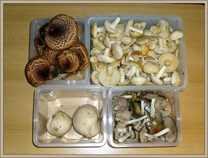 Eine Auswahl von Speisepilzen, die im Mai durchaus lohnende Gerichte versprechen können. Jeweils von links nach rechts, oben beginnend: Schuppiger Porling, Maipilz, Riesenbovist und Schild - Rötling.