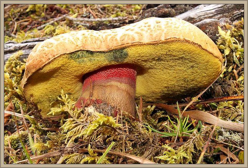 Schönfuß _ Röhrling (Boletus calopus). Dieser schöne, aber leider bitter schmeckende Dickröhrling ist vorwiegend ein Pilz der Bergländer, kommt aber zerstreut bis selten auch in Mecklenburg vor. Wir finden ihn bei uns in Buchenwäldern auf sauren Böden, während er im Gebirge meist unter Fichte und Tanne vorkommen soll. Wegen des bitteren Fleisches ist er ungenießbar. Seine Röhrenmündungen sind gelb, ohne Rotanteile. Diese finden wir im Stielbereich durch ein auffalendes, rotes Netz. Wilhelm Schulz hat dieses reife Exemplar am 10.10.2014 bei Penk in Österreich fotografiert. Ungenießbar.