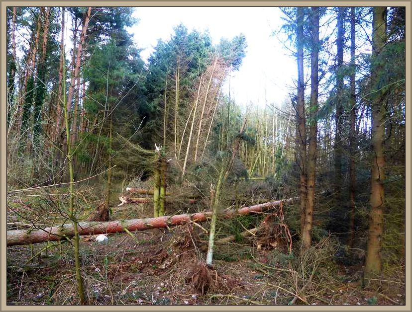 Wer zur Zeit durch die Wälder geht, sollte vorsicht walten lassen. Die Sürme der letzten Tage haben ihre Spuren hinterlassen. Gefährlich können schon bei leichteren Windböen die Bäume werden, die bereits windschief geworden sind, aber noch nicht umgefallen sind. Dieses Foto habe ich gestern im Wald bei Jesendorf aufgenommen.
