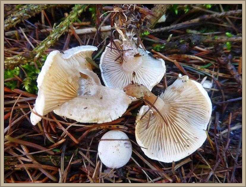 Gleich daneben, in der Fichtennadelstreu eine kleine Gruppe weiterer, trichterlingsartiger Pilze ohne Anis Geruch. Sie rochen wunderbar angenem pilzig. Wahrscheinlich ebenfalls Trichterlinge. Hier könnte beispielsweise der Wachsstielige Trichterling (Clitocybe candicans) mit seiner glänzenden, kalkweißen Hutoberläche in Frage kommen. Aber hier herrscht anscheinend ein ähnliches wirrwarr, was Standort und häufigkeit angeht. Nach Bon ist er selten und steht in der Roten Liste Kategorie 2 = stark gefährdet, nach Michael, Hennig, Kreisel ist es ein häufiger Pilz.