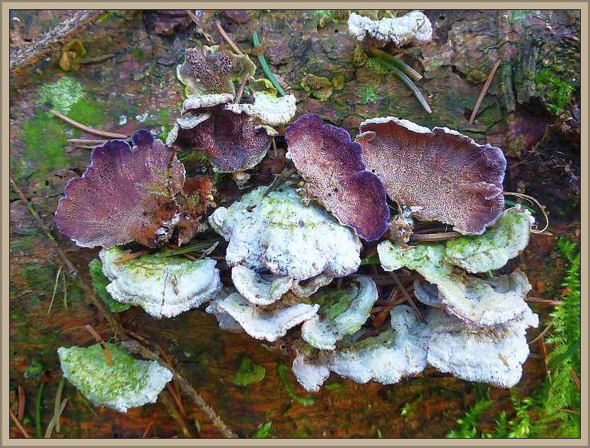 Das hier natürlich der Gemeine Violettporlinge am Holze der Nadelbäume beheimatet ist, versteht sich von selbst.
