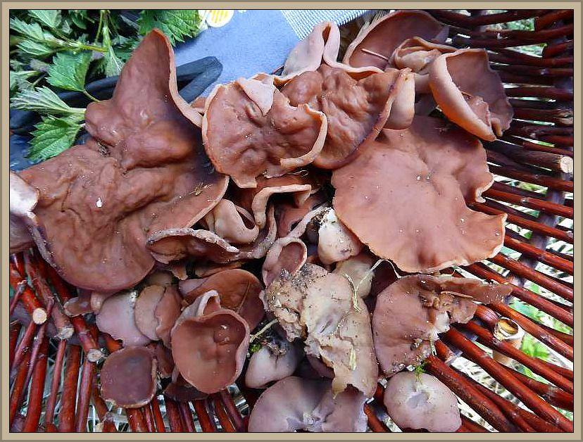 Da können wir die reichlichen Scheibenlorcheln (Gyromitra ancilis) von heute wohl schon mal als ein gutes Ohmen betrachten, in der Hoffnung das die Morchelsaison ähnlich ergiebig ausfallen möge.