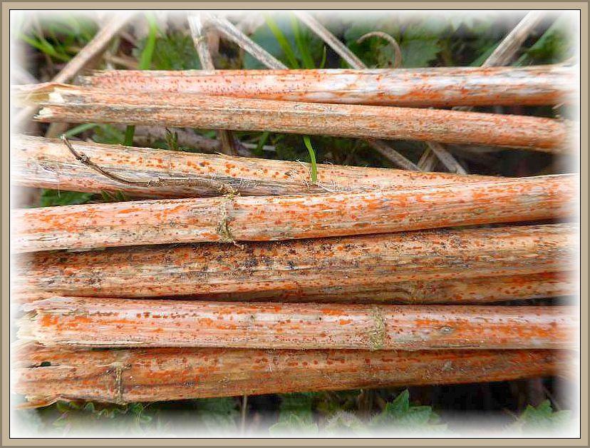 Die Natur explodiert momentan regelrecht. Man kann fast zuschauen, wie es jeden Tag immer mehr grünt und blüht. Auch die Brennesseln schießen jetzt wieder frisch aus dem Boden. Noch sind aber die trockenen Stengel der Großen Brennessel dominant. Ihre Bestände schimmern mitunter schon von weiten orange. An ihnen gibt es wie geäst orangefarbene Pusteln, hervorgerufen vom Orangefarbenen Brennesselbecherchen (Calorina fusarioides). und schaut m