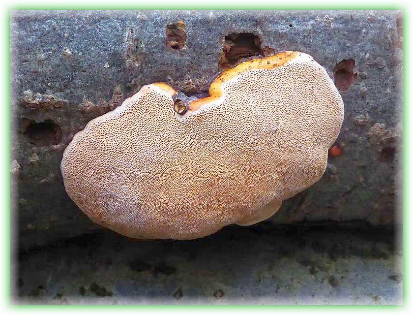 Hier sehen wir einen resupinat, an der Unterseite eines liegenden Baumstammes wachsenenden Rotrandigen Baumschwamm (Fomitopsis pinicola).