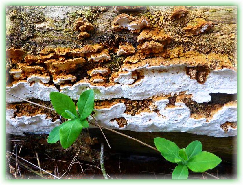 Teils resupinat, teils Hutkannten bildend sehen wir hier die an Fichtenholz recht häufige Reihige Tramete (Antrodia serialis).i