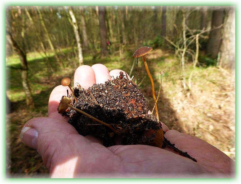 Diese kleinen Blätterpilze wachsen häufig aus Kiefernzapfen heraus. Es gibt einen milden und einen bitteren Nagelschwamm, wie sie auch genannt werden, von ihnen. Neben einer Geschmacksprobe sind vor allem mikroskopische Unterschiede entscheidend für die Artzugehörigkeit.