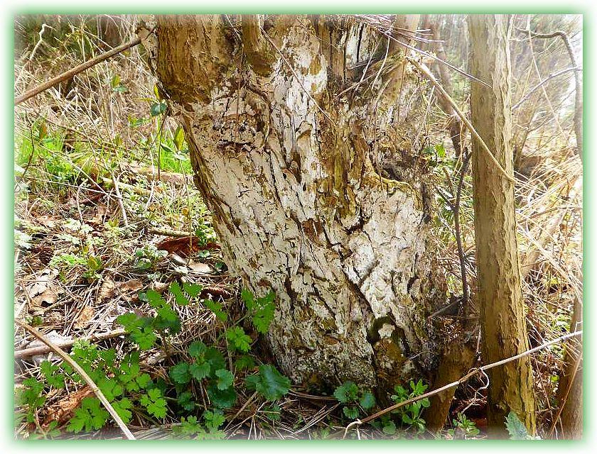 An diesem alten Holunderstubben hat niemand seine alten Farbenreste gepinselt, sondern es handelt sich um den Holunderrindenpilz (Lyomyces sambuci).