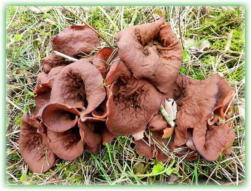 Weit hin zu sehen und original so gewachsen. Durchschnittsgröße der einzelnen Fruchtkörper 8 - 10 cm. Das hier ist bereits ein vollwertiges Pilzgericht, denn nach gründlichem Erhitzen können die Pilze gegessen werden.
