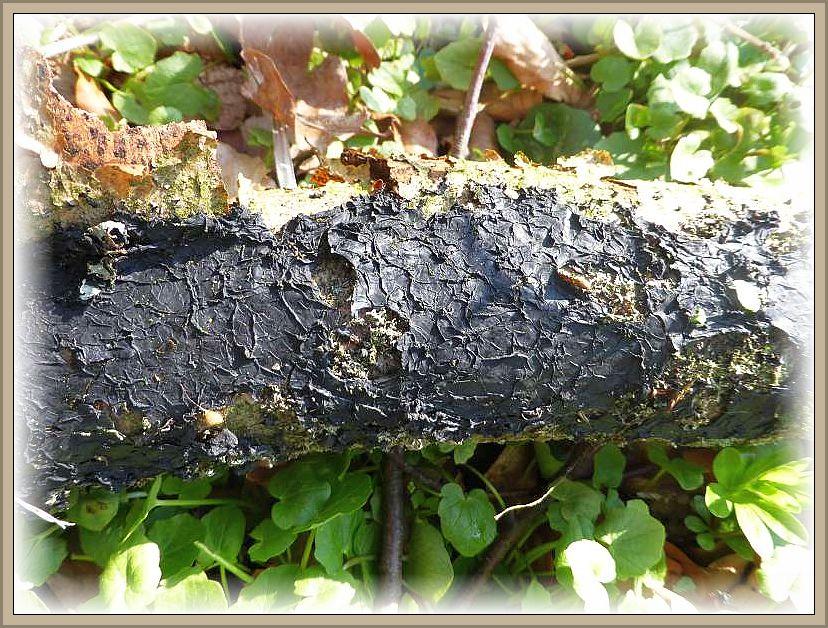 Dieser, bei feuchtem Wetter gelatinös aufgequollene Warzige Drüsling (Exidia plana) war zu einer düner, schwarzen Kruste zusammengeschnurrt.