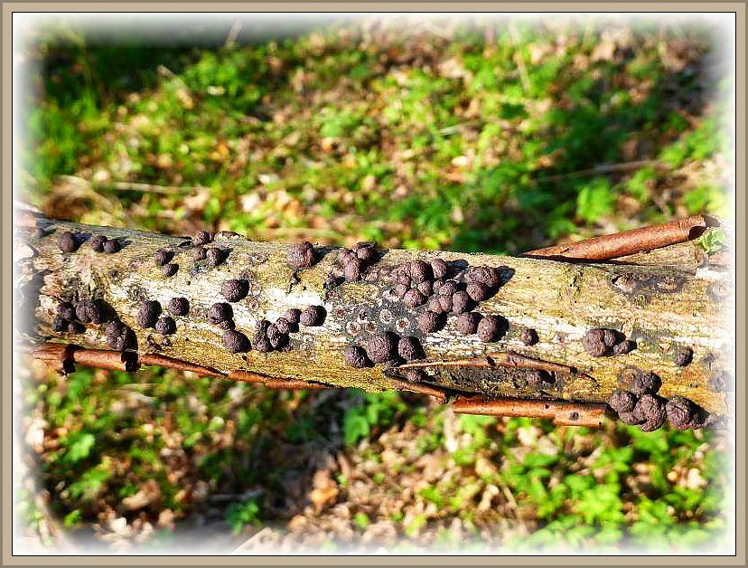 Diese Rotbrauenen Kohlenbeeren lassen sich durch die Trockenheit nicht beeindrucken. Wir finden sie bei jeder Witterung zahlreich auf Ästen und Knüppeln von Laubbäumen.