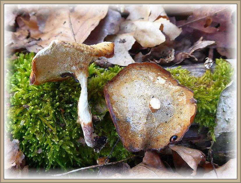 Relikte aus vergangenen Wintermonaten - der Winterporling (Polyporus lepideus). Er wird in Kürze vom feinporigen Maiporling abgelöst.