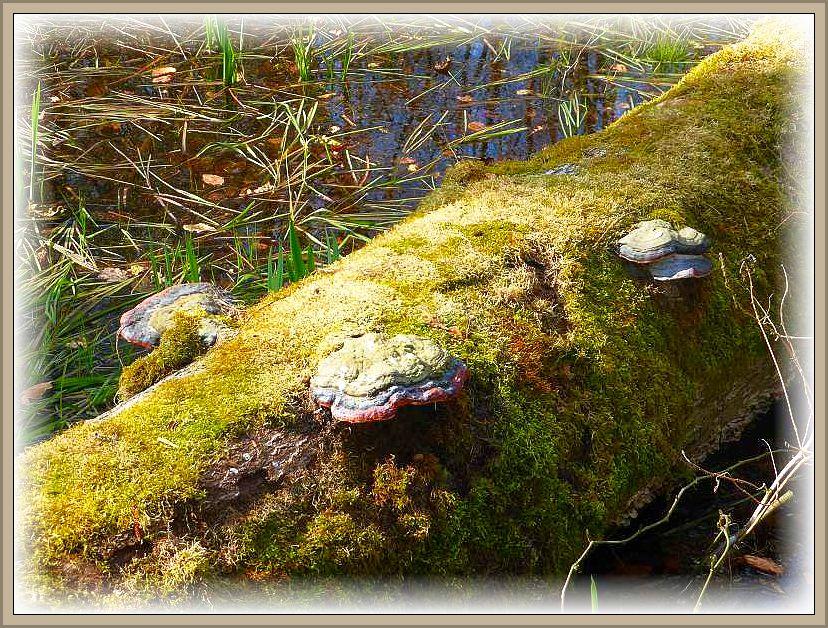 So sorgt unter anderem der Rotrandige Baumschwamm (Fomitopsis pinicola) für die Aufarbeitung des anfallenden Totholzes.