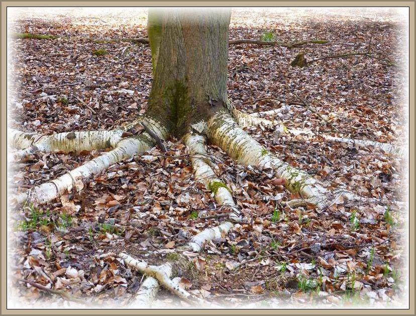 Während die Rinde des Baumes graubraun gefärbt war, sahen die Oberflächen der Wurzelausläufer weißlich aus.