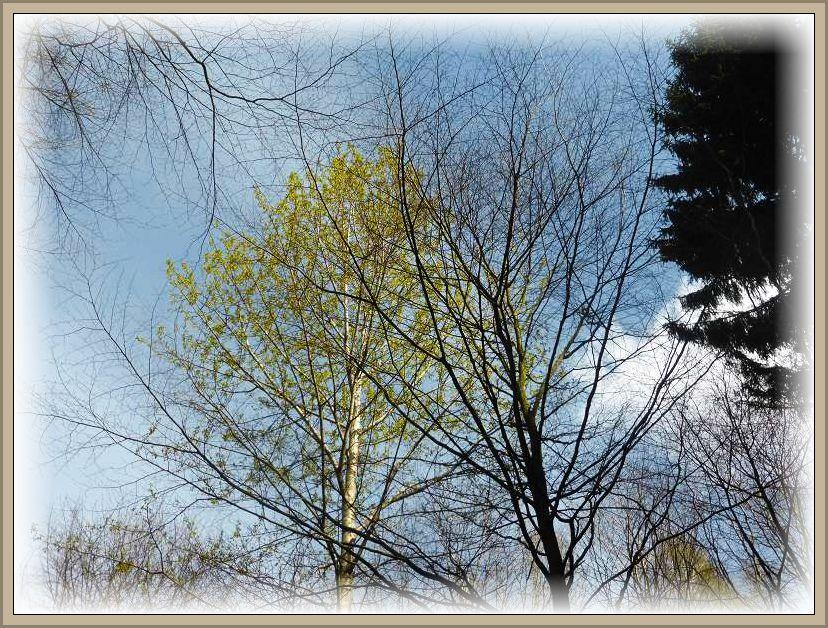 Während die Kronen der umstehenden Laubbäume noch kalh waren, hatte dieser Baum schon sein zartgrünes Blätterdach entfaltet.