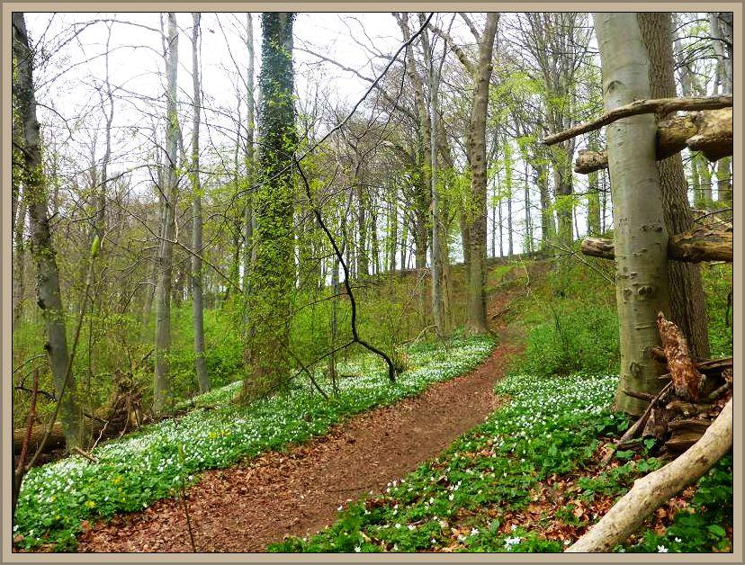 An den etwas höher gelegenen Buchenwaldhängen war es dann eigentlich schon wieder viel zu trocken. Dafür erfreuten uns ganze Teppiche blühender Anemonen.