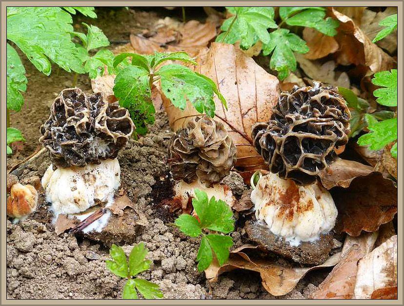 Am Übergangsbereich beider Zonen, dort wo Eschen mit eingestreut waren, dann tatsächlich einige stecken gebliebene Speisemorcheln (Morchella esculenta).