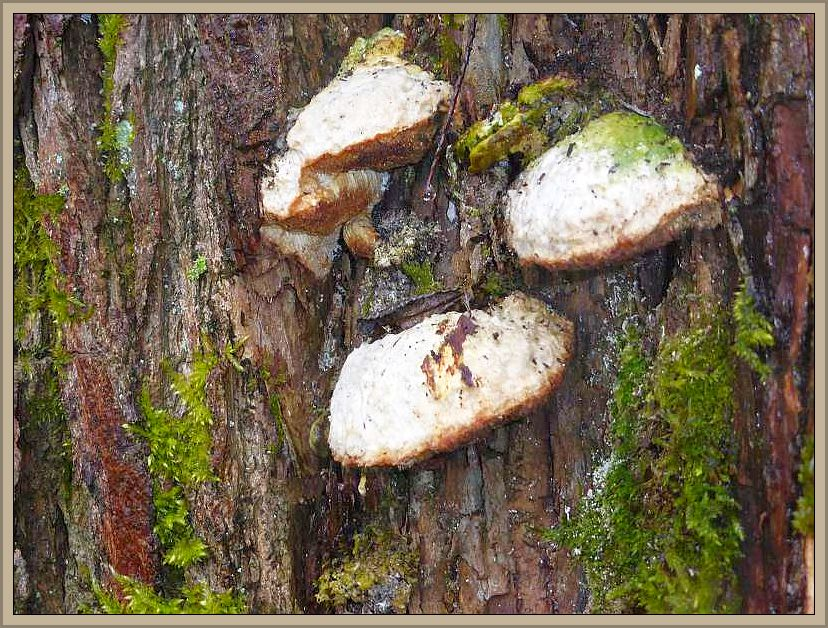 An einer alten Weide, direkt am Hellbach, zahlreiche alte Fruchtkörper der Anis - Tramete (Trametes suaveolens)