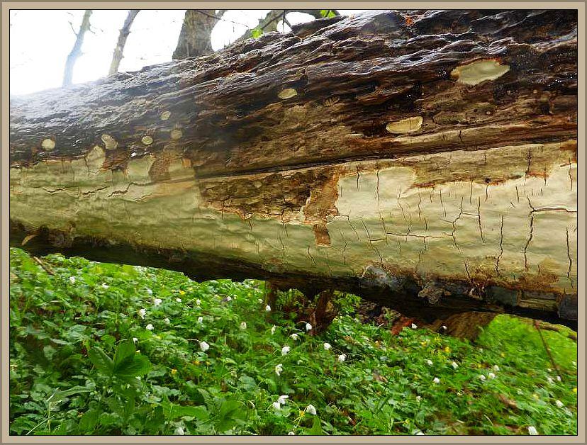 Der interessanteste und bemerkenswerteste Fund hier im Hellbachtal war für mich dieser Lederrindenpilz (Sytinostroma specc.). Er wuchs resupinat, laso flächig in großer Ausdähnung an der Unterseite einer liegenden Weide ohne Bodenkontakt in diesem Bereich. Ob es sich um den bekannten Mottenkugel - Lederrindenpilz (Scytinostroma hemidichophyticum) handelt ist mir allerdings unklar. Er roch nicht wie üblich nach Mottenpulver, sondern beim Reiben schwach und angenehm pilzartig.
