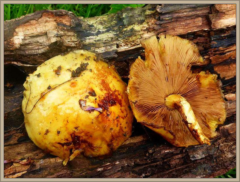 Eher aus dem Herbst kennen wir die großen und schleimigen Fruchtkörperbüschel des Hochthronenden Schüpplings (Pholiota aurivella). Er wächst an lebenden und toten Laubholz, oft hoch am Stamm und ist auch im Frühjahr keine Seltenheit. Ungenießbar.