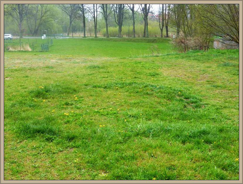 Auf der vorgelagerten Rasenfläche wuchs das Gras in einer kreisförmigen Zone deutlich üppiger und dunkler als drum herum. Ein eindeutiges Indiz für einen pilzlichen Hexenring. Möglicherweise zeichnen Nelkenschwindlinge oder Maipilze dafür verantwortlich.