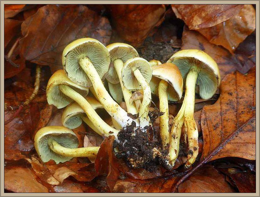 Aber Morcheln ließen zunächst noch auf sich warten. Statt dessen erfreuten uns einige Grünblättrige Schwefelköpfe (Hypholoma fasciculare). Giftig!