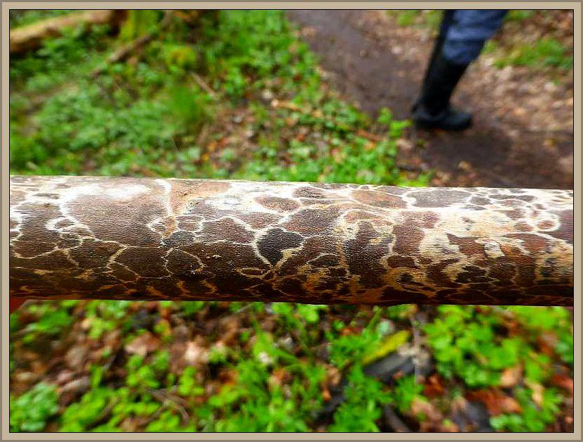 Und immer wieder Giraffenholz. Lange Stücke eignen sich vorzüglich als dekorativer Wanderstock.