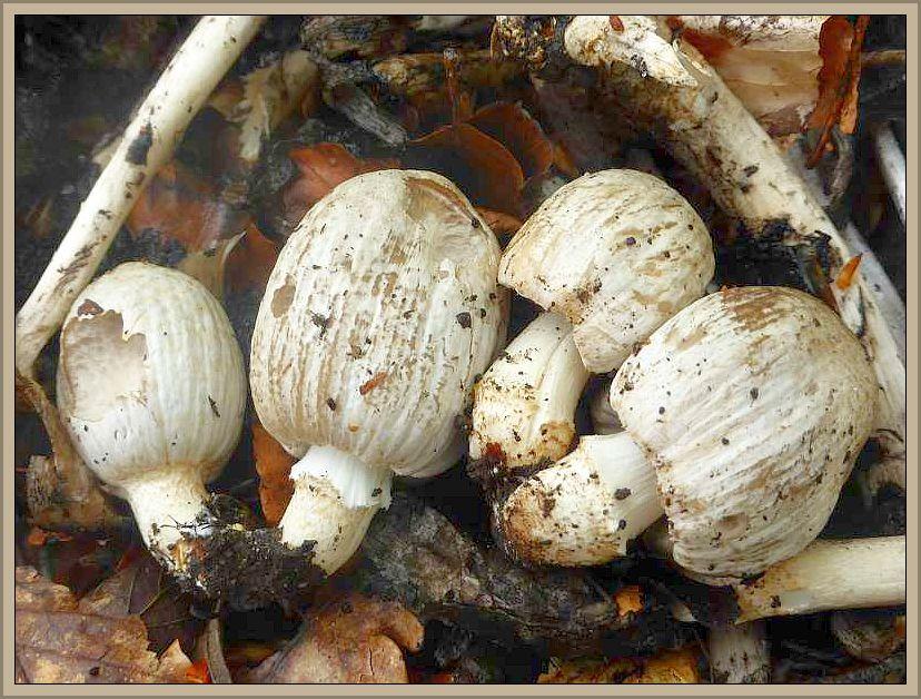 Junge Graue Faltentintlinge (Coprinus atramentarius) zwischen den Stielen alter Fruchtkörper. Durch ihren knotigen Wulst am unteren Stielbereich werden sie auch Knoten - Tintlinge genannt. Jung essbar, in Verbindung mit Alkohol giftg!